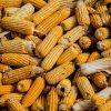 produto-milho-exportacao-terra-brasil-trade